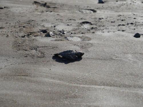 Bébé tortue (2)