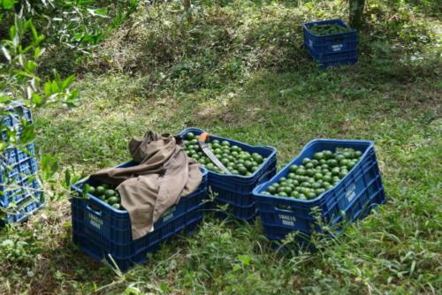 Collecte des mandarines (7)
