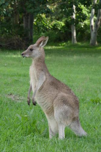 Kangourou (5)