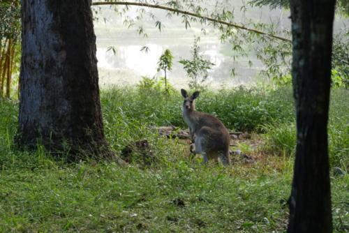 Kangourou dans la brume