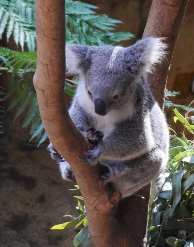 Koala Newcastle