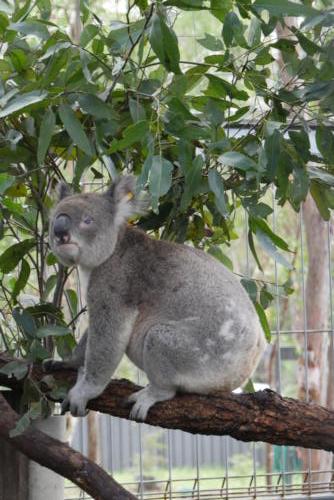 Koala en convalescence