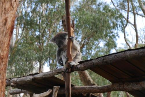 Koala sauvé