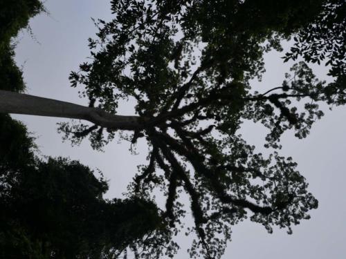 L'arbre sacrée des Mayas, Tikal