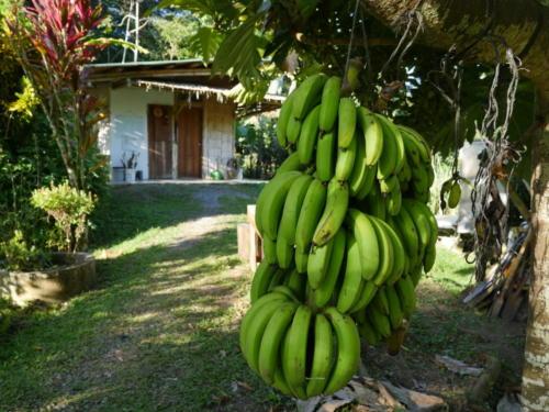 Les bananes pour les animaux sauvages