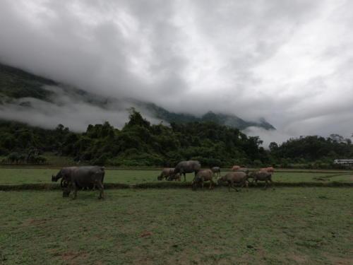 Les buffles laos