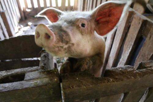 Les cochons de la finca