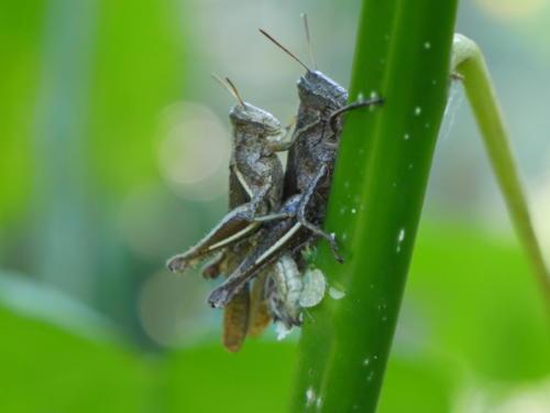 Les sauterelles