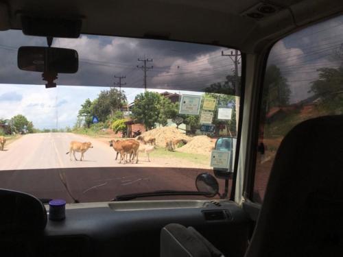 Les vaches en liberté