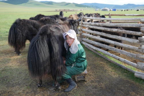 Oyuna à la traite des yacks (2)