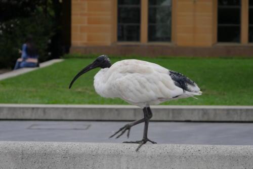 L'ibis à cou noir