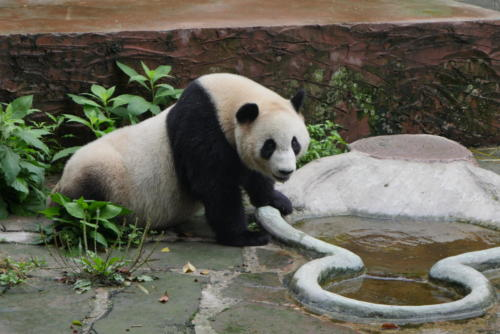 Panda base (1)