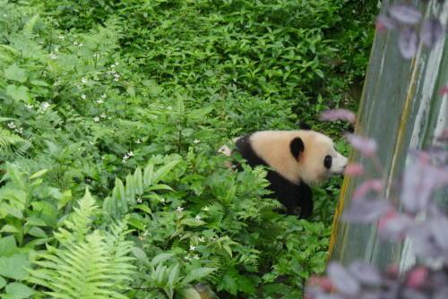Panda base (6)