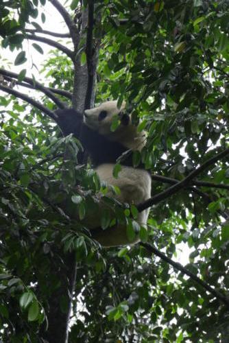 Panda base (7)