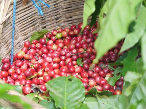 Panier de café en cerise