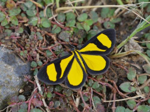 Papillon Las Canadas