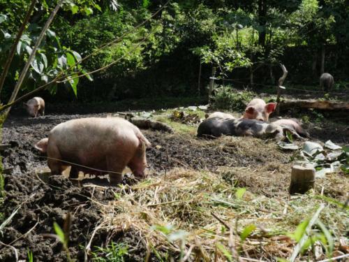 Porcs élevés en liberté
