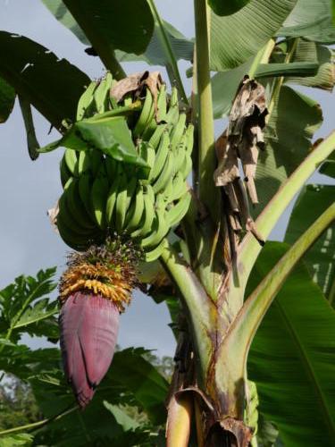 Pour les chips de bananes