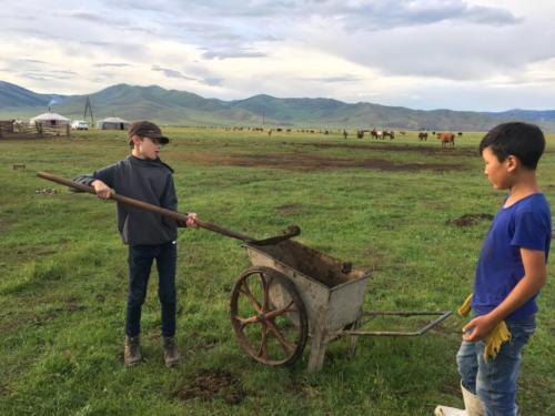 Recolte des bouses de yacks