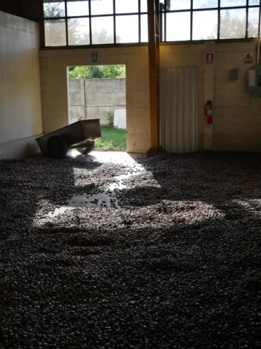 Séchage des noix  de cajou brutes