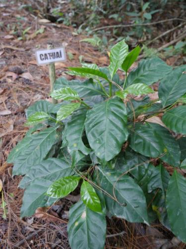 Une des variétés de café CATUAI