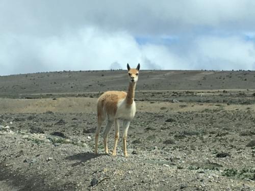 Vigogne Chimborazo